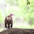 Hooded Vulture by Jane Rix