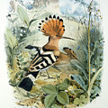 Hoopoe by Edouard Travies