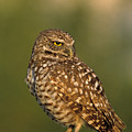 Hoot A Burrowing Owl Portrait by John Harmon