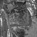 Hootie Owl  by Bill Hyde