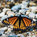 Hope Of The Monarch Butterfly by Henry Kim