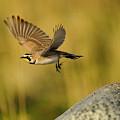 Horned Lark In Flight by Dennis Hammer