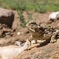 Horned Lizard by David Cutts