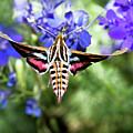 Horned Moth by Scott Cordell