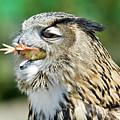 Horned Owl Eating Chicken by Aivar Mikko