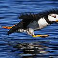 Horned Puffin  Fratercula Corniculata by Marion Owen