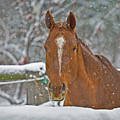 Horse And Snowflakes by Darrel Giesbrecht