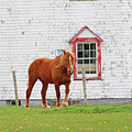 Horse At Panmure Island Lighthouse 5756 by Jack Schultz