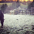 Horses On A Frosty Pasture by Amy Challenger