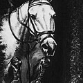 Horse Painting  Jumper No Faults Black And White by Bets Klieger