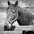 Horse Portrait In Black And White by Rose Santuci-Sofranko