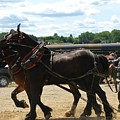 Horse Pull B by Melissa Parks
