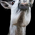 Horse Pulling Face by Peter Meade