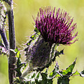 Horse Thistle 01 by Jim Dollar