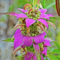 Horsemint On Trail To North Beach Park In Ottawa County, Michigan by Ruth Hager