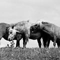 Horses 3 by Stephen Harris