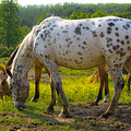 Horses And Buttercups by Lori Coleman