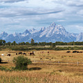 Horses At The Tetons by Sharon Seaward