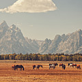 Horses Grazing In Front Of The Teton's by Carolyn Rauh