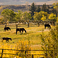 Horses Grazing In The Late Afternoon by Michael S. Lewis