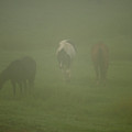 Horses Grazing In The Mist by Steve Gadomski