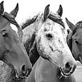 Horses - Id 16217-202749-4749 by S Lurk