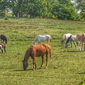 1003 - Horses In A Pasture I by Sheryl Sutter