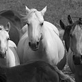 Horses In Black And White by Carl Paulson