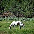 Horses In Meadow - California by Mountain Dreams
