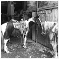 Horses In The Barn by Christina McNee-Geiger