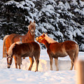 Horses In The Snow by Martin Rochefort