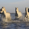 Horses In Water by FL collection