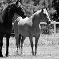 Horses by Julie Blackburn