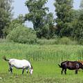 Horses On Pasture Nature Farm Scene by Goce Risteski