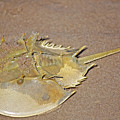 Horseshoe Crab by Kenneth Albin