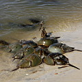 Horseshoe Crabs by Christiane Schulze Art And Photography