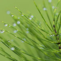 Horsetail With Dew by Robert Potts