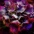 Colorful Hortensia Closeup by Mona Stut