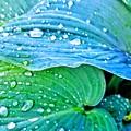 Hosta After The Rain by Rachel Hannah