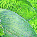 Hosta Lavista Baby by Traci Cottingham