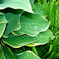 Hosta Leaves And Waterdrops by Nancy Mueller