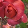 Hot Cocoa Rose by Marta Robin Gaughen