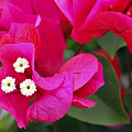 Hot Pink Bougainvillea by Teresa Zieba