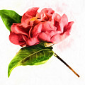 Hot Pink Camellia  by Kay Brewer