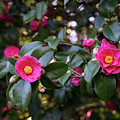 Hot Pink Camellias Glowing In The Shade by Georgia Mizuleva