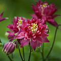 Hot Pink Columbine by Teresa Mucha