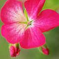 Hot Pink Geranium On A Brilliant Summer Day by Dorothy Lee