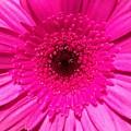 Hot Pink Gerbera by Brenda Gala