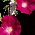 Hot Pink Glories by Anne Sands