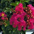 Hot Pink Jacaranda by Richard Thomas